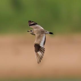    Small Pratincole    by Indra Maji - Animals Birds