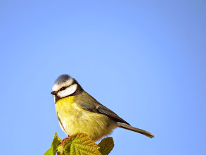 Photo: Priorslee Flash What a poser!? Blue Tit of course. (Ed Wilson)