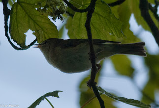 Photo: Willow Warbler