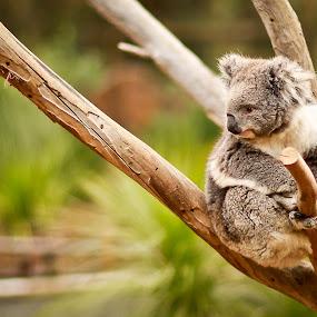 Koala by Handoko Lukito - Animals Other