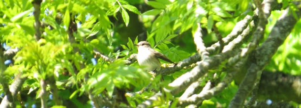 Photo: Spotted flycatcher 10 June 2015 © Updale Natural History Recorder 2015