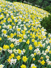 Photo: River of daffodils at Cox Arboretum in Dayton, Ohio.
