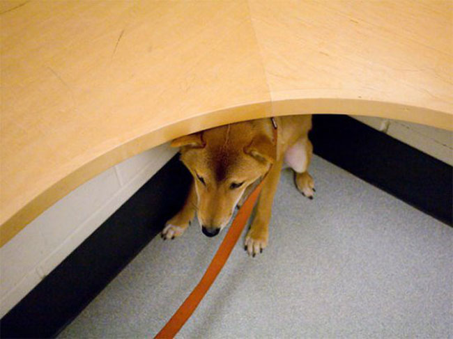 funny-scared-animals-vet-under-table