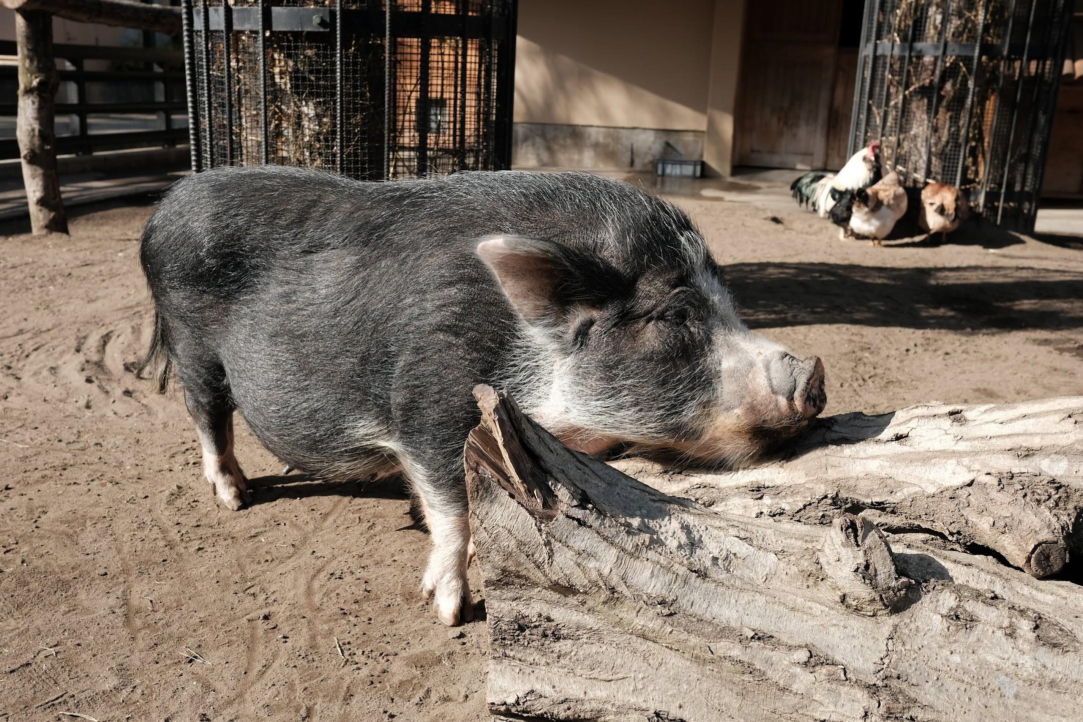 井の頭動物園の豚。