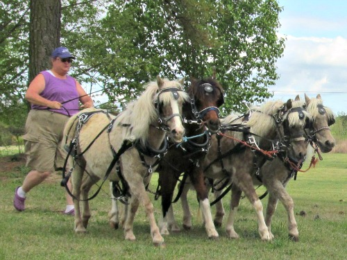 4-abreast hitch ground driving - From left - Bit, Cassie, GG & Bell.