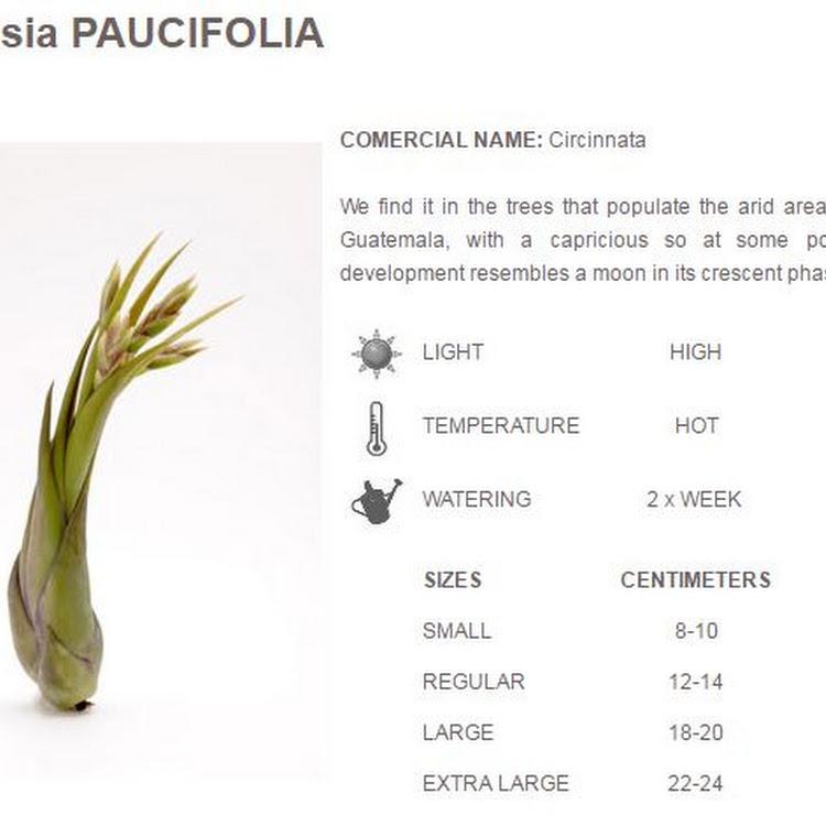 Air Plant Paucifolia