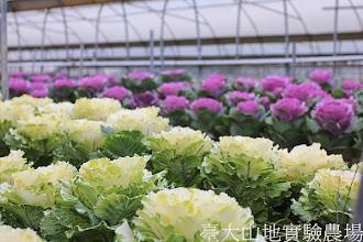 Photo: 拍攝地點: 梅峰-一平臺 拍攝植物: 葉牡丹 拍攝日期:2013_09_28_FY