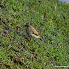 White throated Munia, Indian silverbill