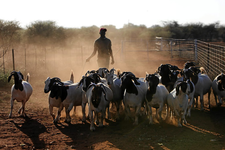 A goatherd and his group of grazers. Small-scale farmers stand to benefit from R1bn set aside to assist more than 75,000 farmers disrupted by Covid-19. File image.