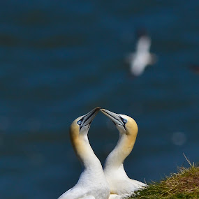 Beaking Gannets by David Cozens - Animals Birds ( gannet, bempton, yorkshire, sea, birds )