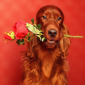 Will you be my Valentine by Ken Jarvis - Animals - Dogs Portraits ( valentines, irish setter, dog portrait, setter, irish, valentine, cute dog )