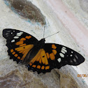 Eastern Courtier  Butterfly