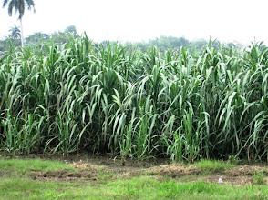 Photo: 8 ½ meses - Sustainable Sugarcane Initiative (Sistema de Caña de Azúcar Sostenible - SiCAS) 2012 [Photo by Rena Perez]