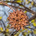 American sweetgum seedpod