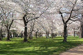 Photo: A cool orchard of cherry trees with their white blossoms
