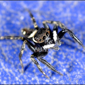 Spider in Blue by Madihi Ata - Animals Insects & Spiders