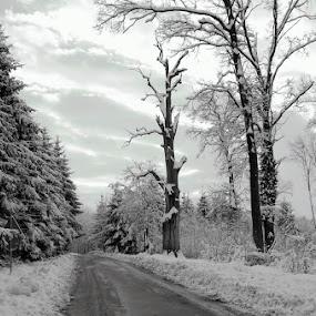old oak by Dragutin Vrbanec - Nature Up Close Trees & Bushes ( winter, snow, croatia, old  oak five hundred years, road )