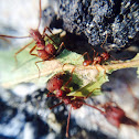 Desert Leafcutting Ant
