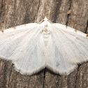 Lesser Maple Spanworm - 6273