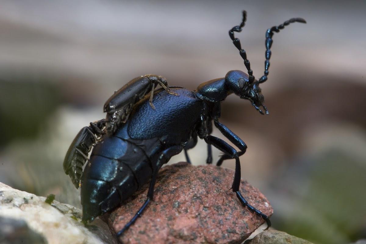 Oil beetle w/ parasites?