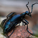 Oil beetle w/ parasites?