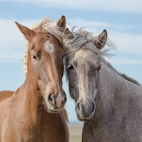 This is Love by Ruslan Stepanov - Animals Horses ( love, animals, iceland, horses,  )