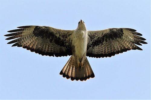 Short toed snake eagle by Vivek Naik - Animals Birds ( bird, grassland, eagle, in flight, short toed snake eagle,  )