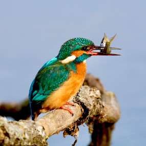 Kingfisher  by Richard Lawes - Novices Only Wildlife