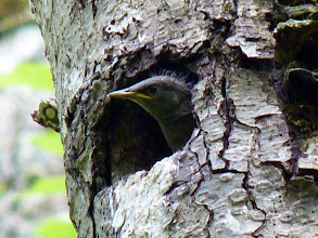 Photo: A young Starling looking out of its nest which is in an old Hairy Woodpecker's nest hole.