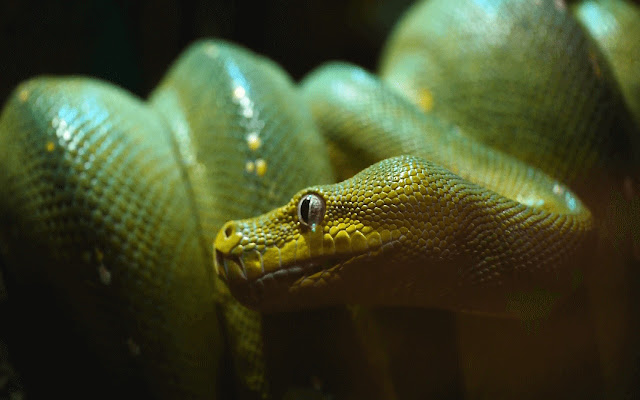 Green Tree Python - New Tab in HD