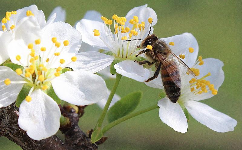 fiori di melo di Naldina Fornasari