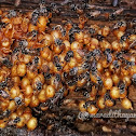 Indian stingless bee