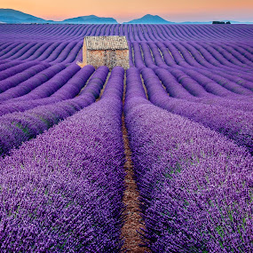 Lavender Field by David Long - Landscapes Prairies, Meadows & Fields ( provence, lavender, valensole )