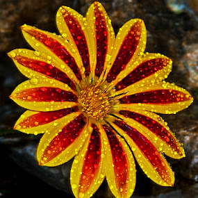 Yellow and red bloom  by David Winchester - Nature Up Close Flowers - 2011-2013 (  )