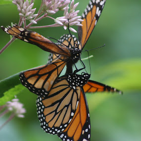 monarch butterflies by Logan Williams - Animals Insects & Spiders ( beautiful, flowers, butterflies, butterfly, monarch butterfly,  )