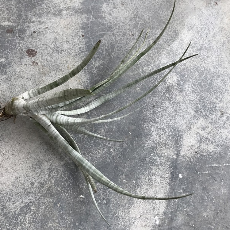 Air Plant - Tillandsia hildae