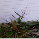 Panicoid grass