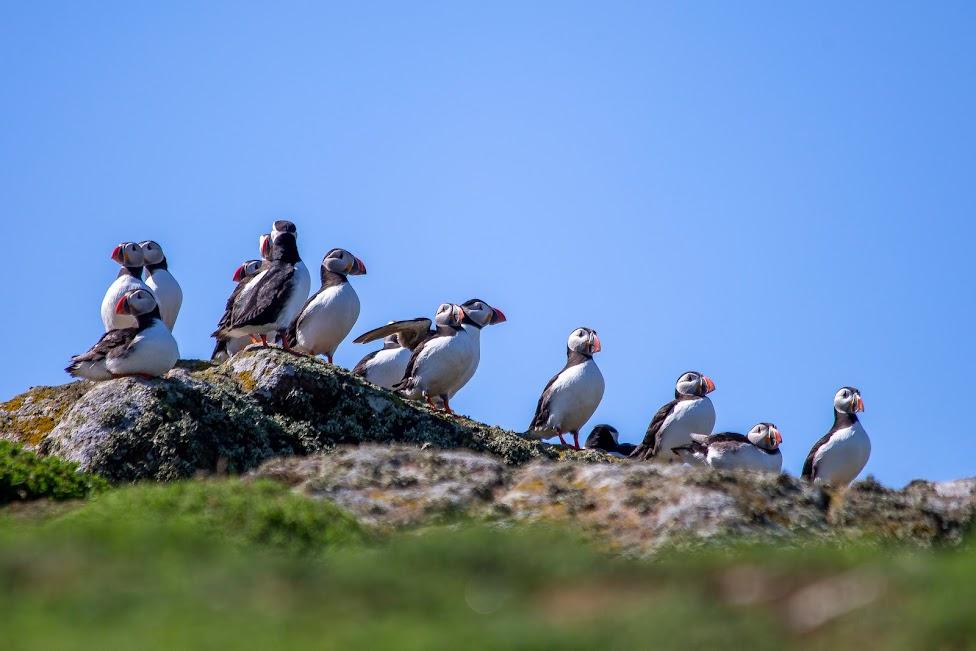 Isle of May, maskonury, Szkocja
