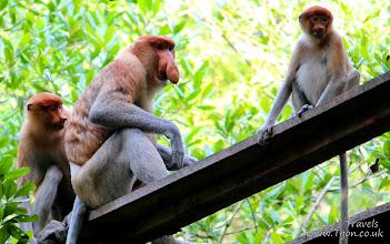 Photo: Proboscis Monkeys, Tarakan, Borneo, Indonesia