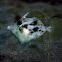 Planehead filefish,