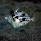 Planehead filefish