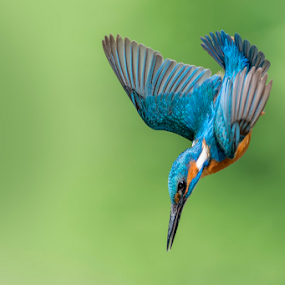 Kingfisher dip by Riccardo Trevisani - Animals Birds ( trevisani, riccardo, kingfisher, wildlife )