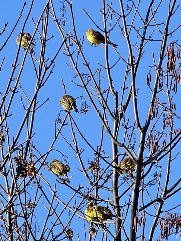 2019-01-19 LüchowSss unterwegs Goldammern (Emberiza citrinella) in Bergahorn