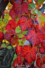 Photo: Hi Folks, Vine leaves in Alsace. Take the opportunity to read the article: The Guide to autumn photo http://bit.ly/TaTqQd  Have a nice day and thanks for your support here on G+