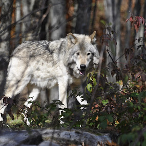 waiting by Jean-Pierre Machet - Animals Other ( nature, wolf, loup, animal,  )