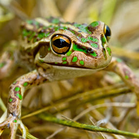 Green Frog by Steve Hatton - Animals Amphibians ( frog, australian frog, amphibian, western australian amphibian., western australian frog )