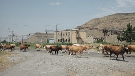 Vor der Bahnstrecke Goris - Tiflis kreuzen mal wieder Kühe unseren Weg.