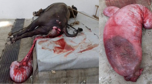 Uterine tear and prolapse in a pregnant Murrah buffalo and the torn gravid uterus surgically removed (photo courtesy Dr. Ravi Dutt, Department of Veterinary Gynecology and Obstetrics, Veterinary College, LUVAS, Hissar, India).