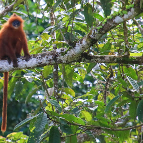 Lutung Merah (Presbytis rubicunda) (Müller, 1838), Willy Ekariyono by Willy Ekariyono - Animals Other Mammals ( tropical, primate, other mammals, endemic, willy ekariyono, indonesia, borneo )