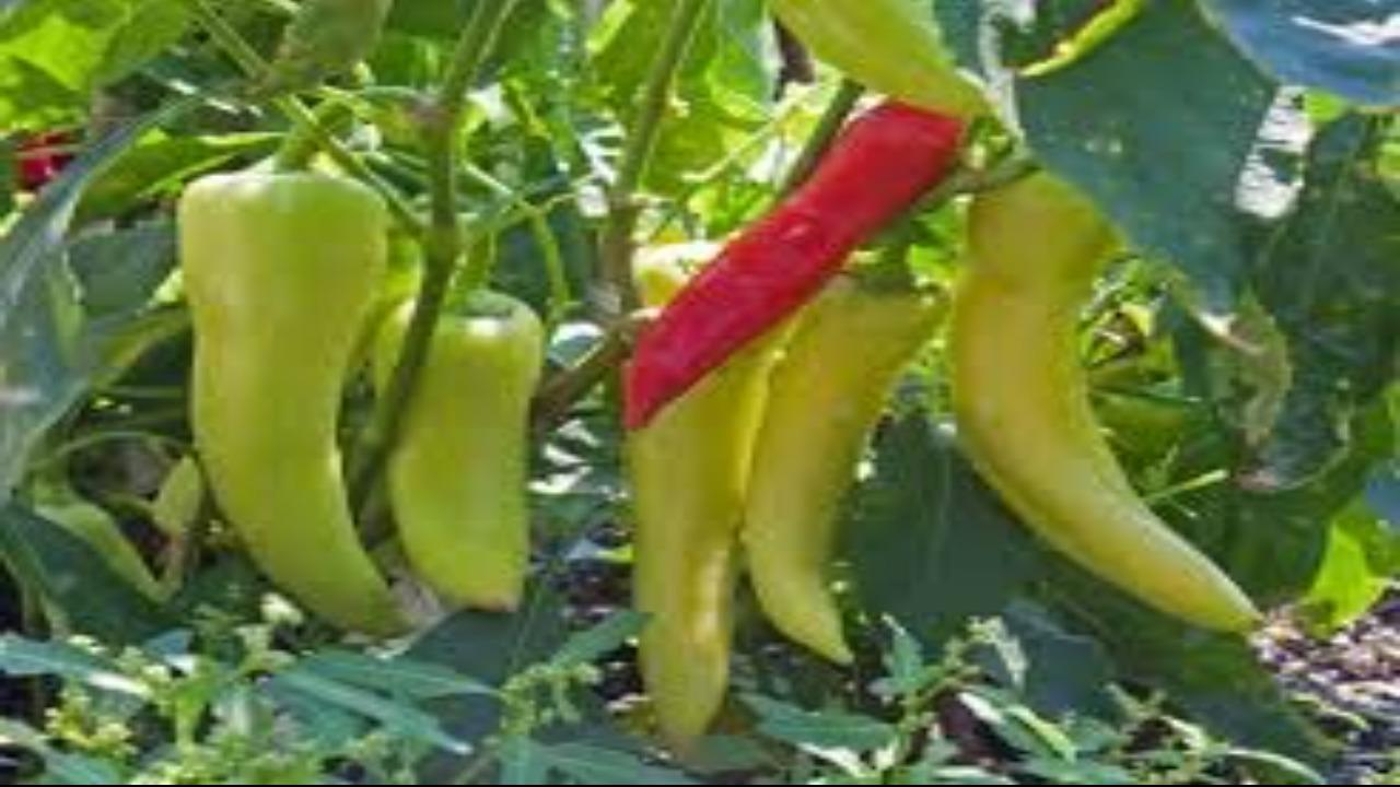 WHEN TO PICK HOT AND SWEET BANANA PEPPERS